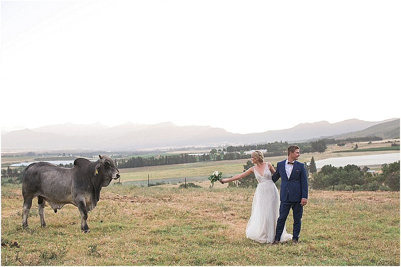 bull and wedding couple