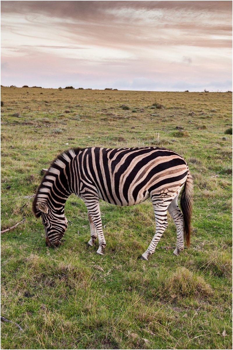 gondwana game reserve zebra