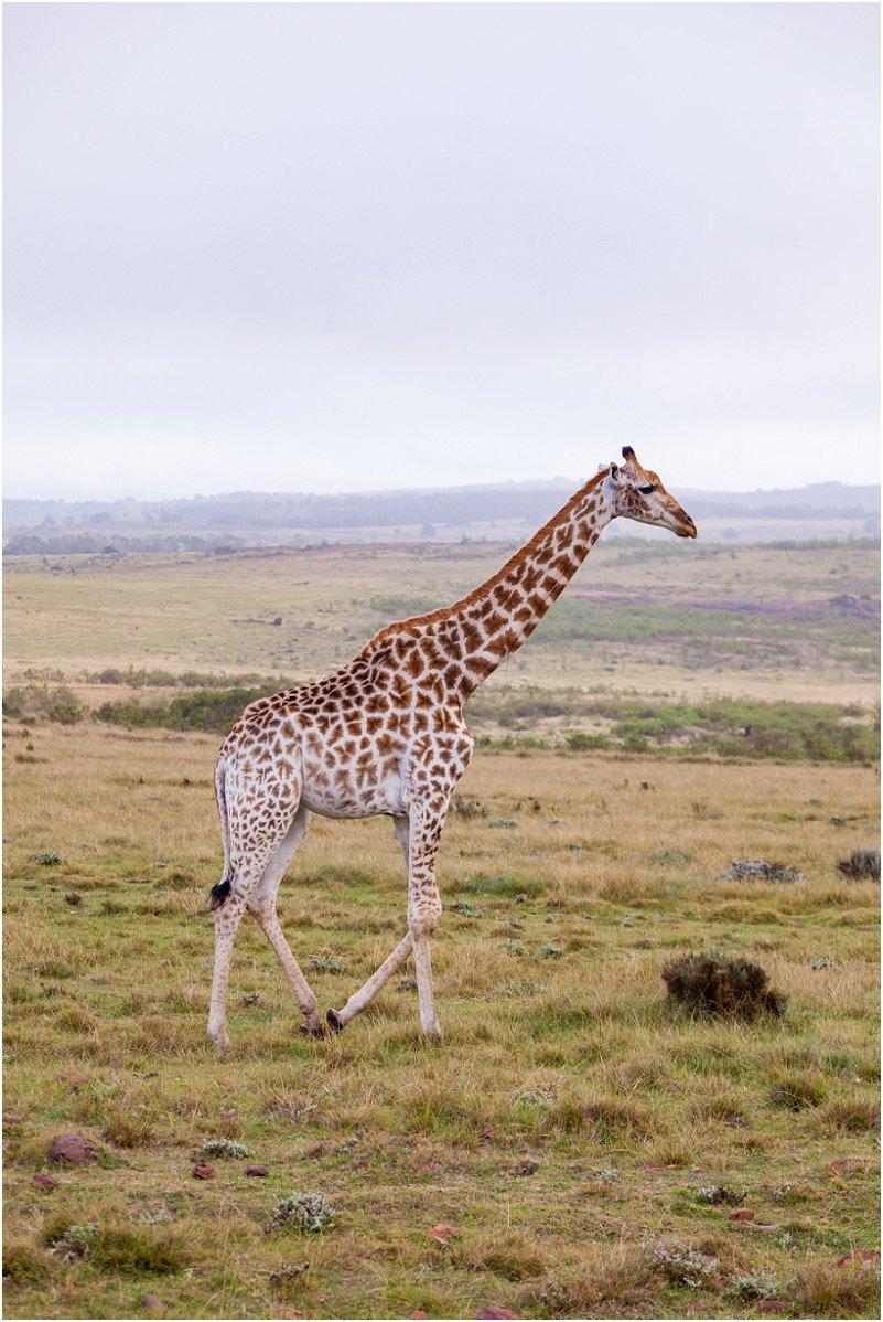 vorsprung studio Giraffe
