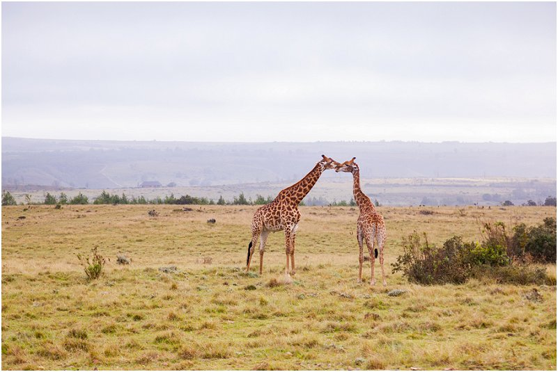 garden route game lodge Giraffe
