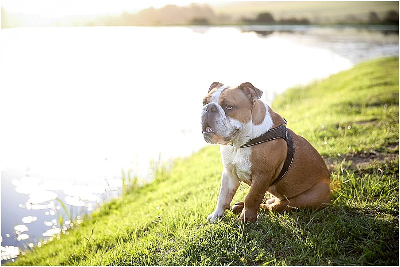 English bulldog at wedding